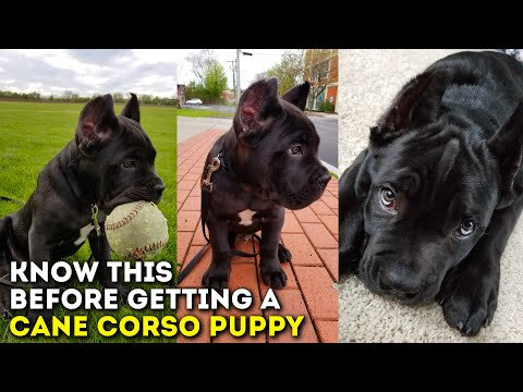 You MUST Know This Before Getting a Cane Corso Puppy