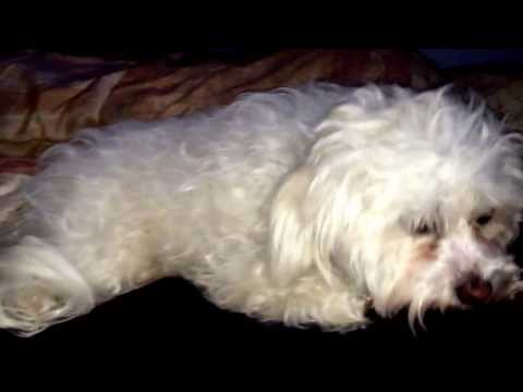 White Dog Shaker syndrome - Zuky