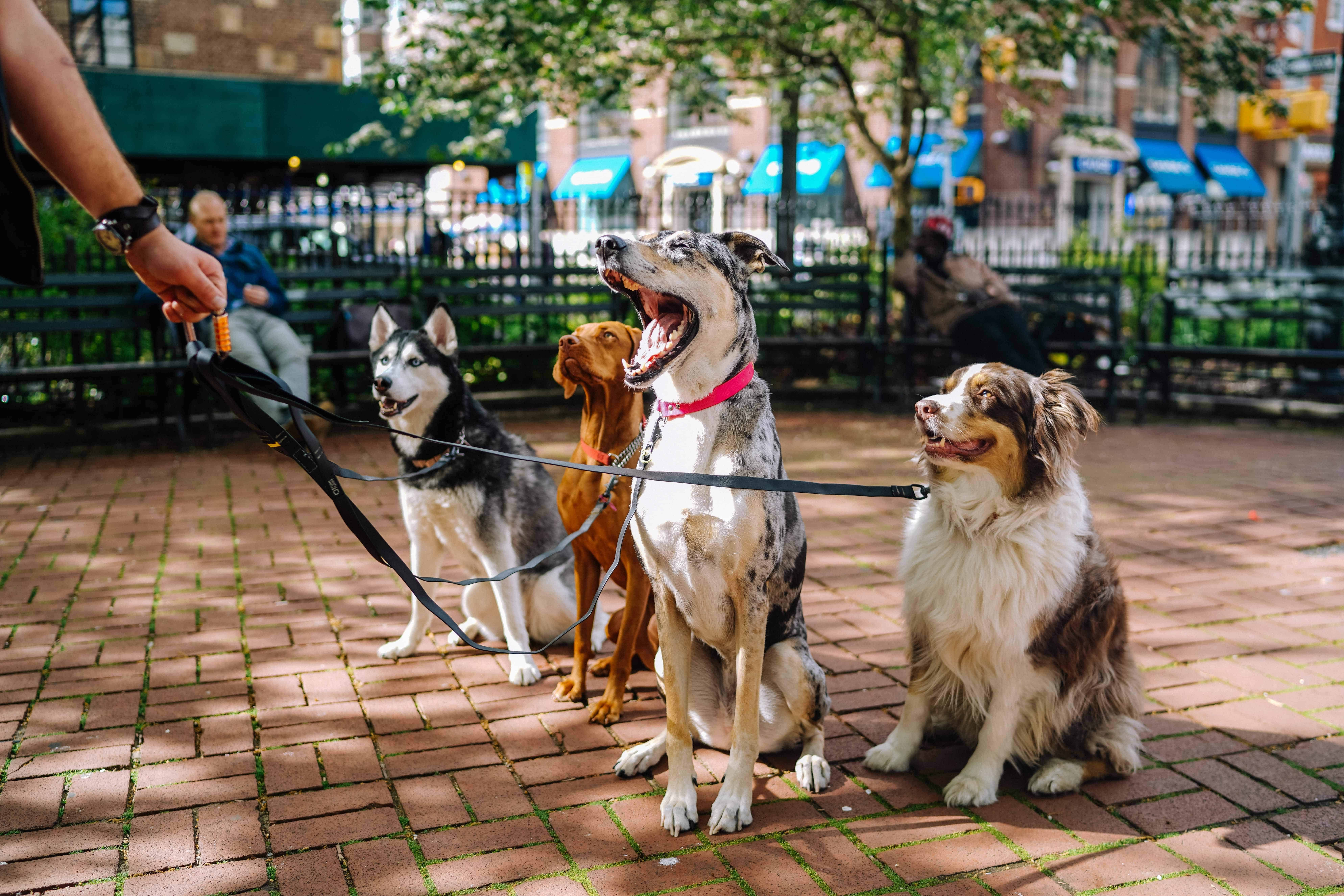 Four medium-sized dogs sitting and attached to one leash