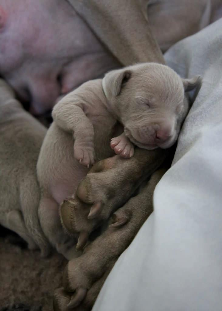 Puppy between paws of parent