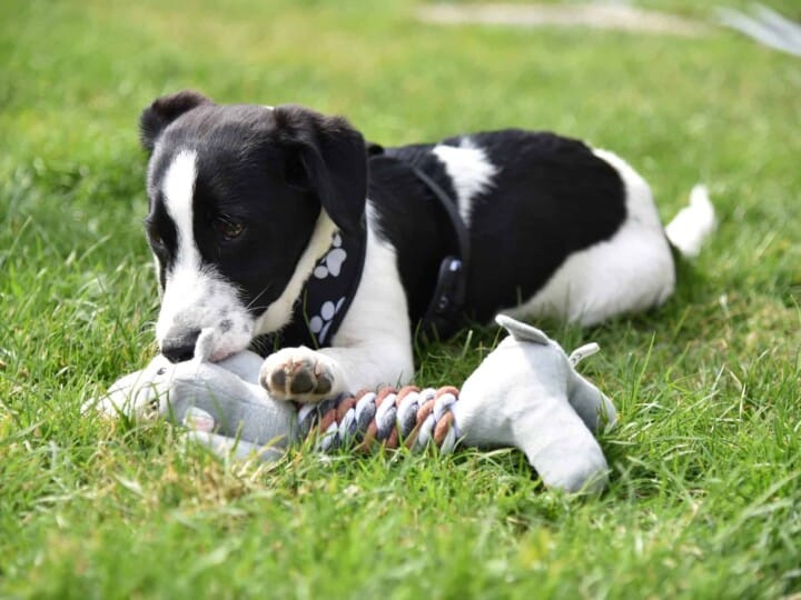 Puppy chewing on toy while laying in grass