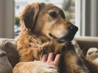 Golden Retriever receiving scratches from human on couch