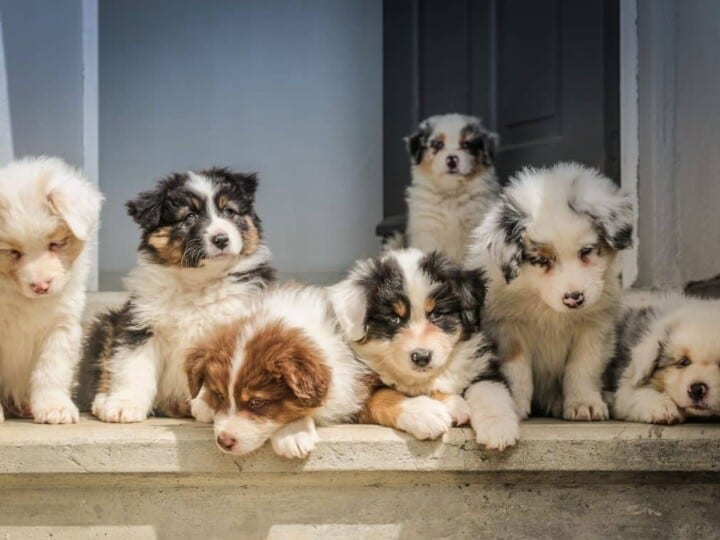 Seven cute Australian Shepherd puppies on doorstep