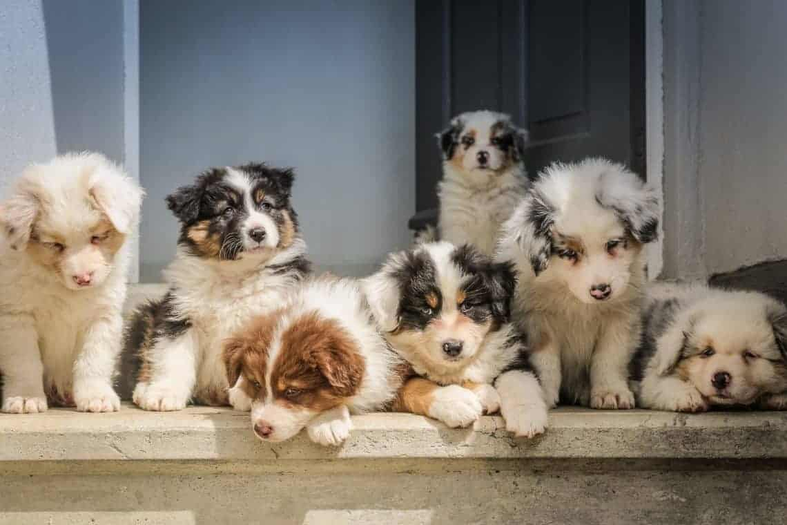 Seven cute Australian Shepherd puppies on doorstep