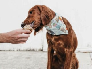 Dog with bandana eats treat out of a human hand