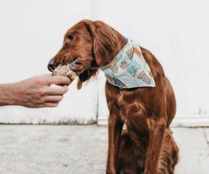 Dog with bandana eats treat out of a human hand