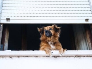 Dog looking out the window and waiting for its owner.