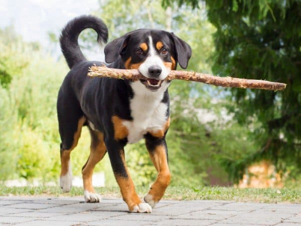 Appenzeller carrying stick