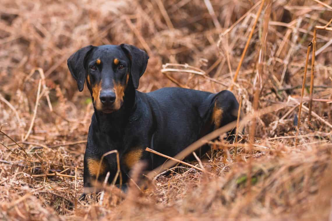 Black and tan Doberman lying in the autumn grass with an imposing appearance and stare.