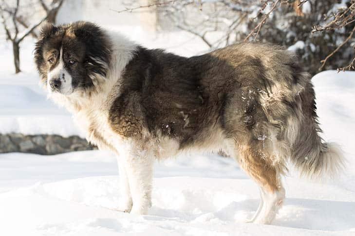 Perro Pastor Caucásico en la nieve.