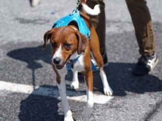 Overexcited dog straining against leash