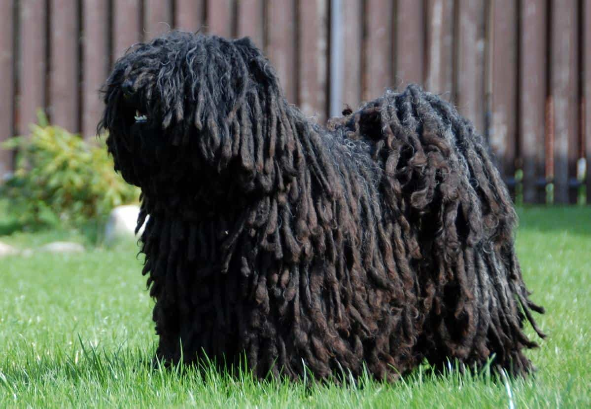 Puli standing in yard