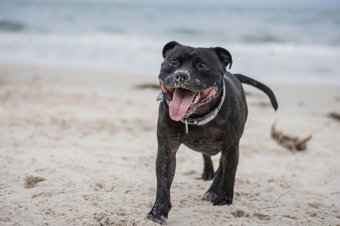 Staffordshire Bullterrier guarding on the beach