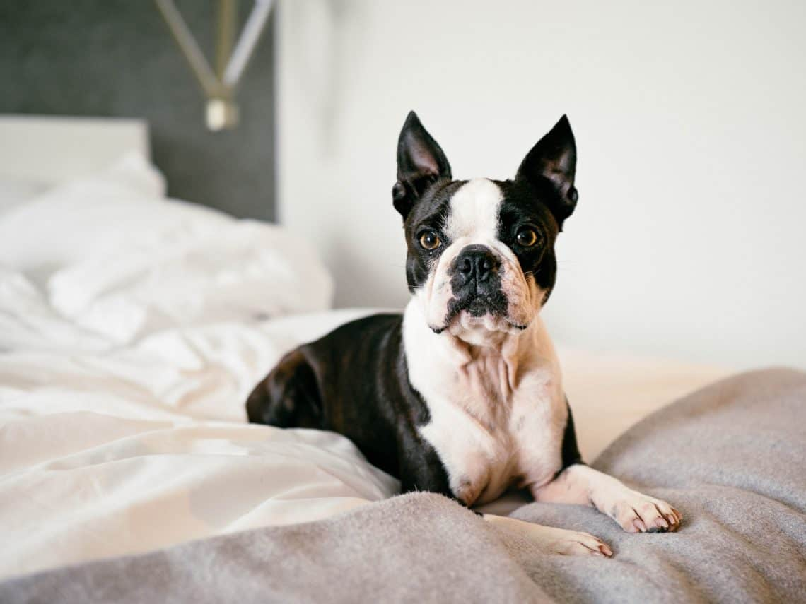Black and white Boston Terrier as small guard dog on the bed for first-time owners.