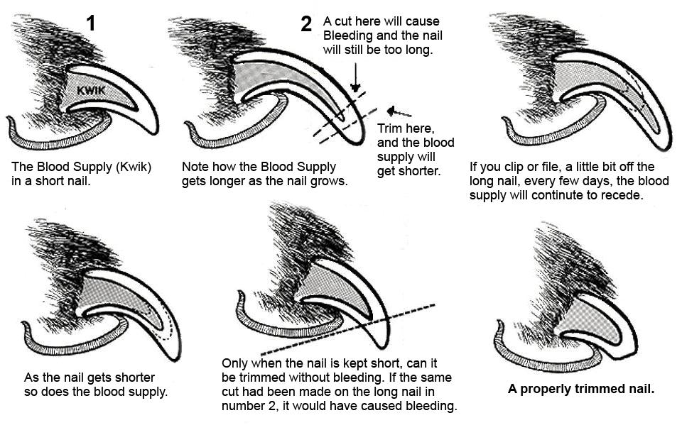 Graphic explaining how to trim dog nails