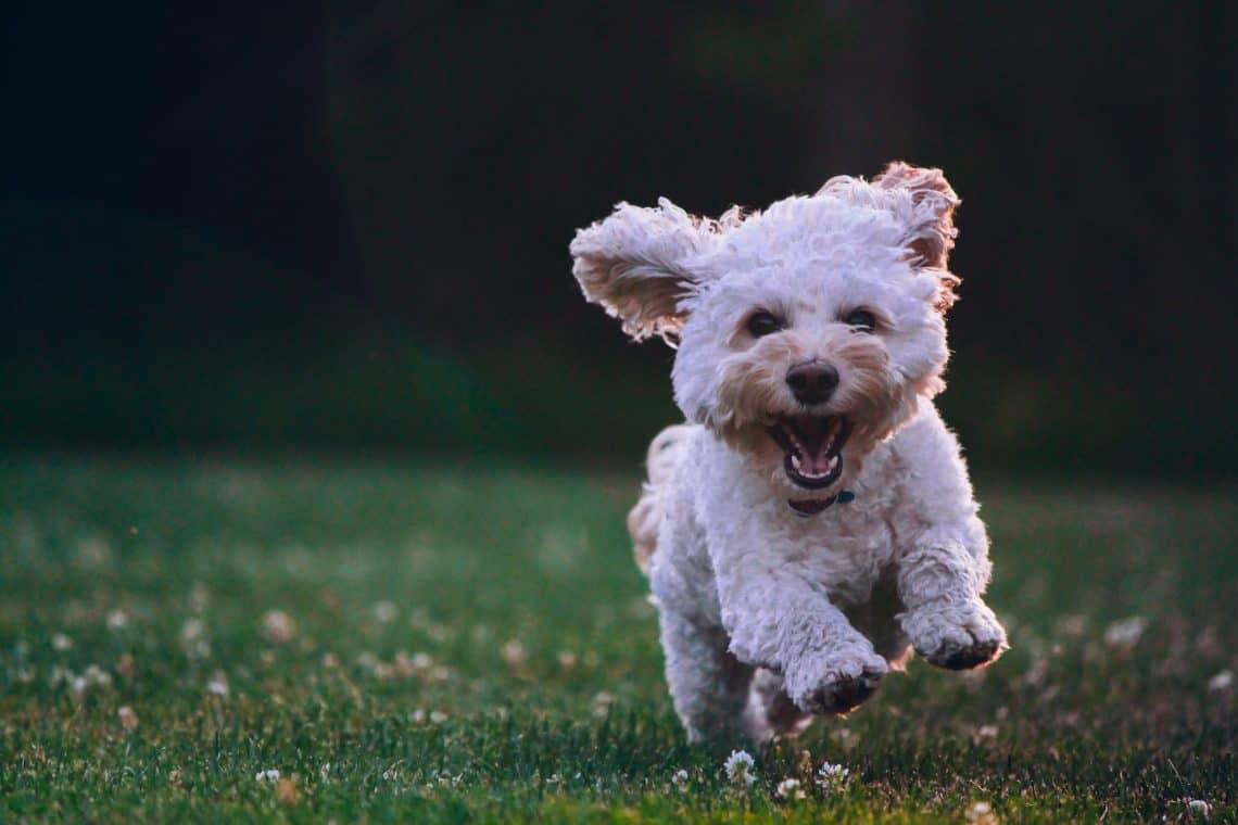 Dog running through the field.