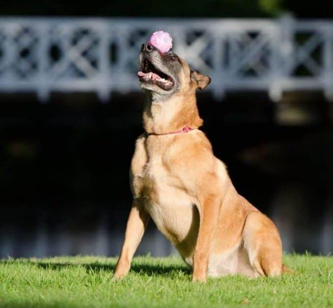 A Malinois dog balancing ball on his nose