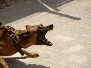 German Shepherd lunging on leash and barking