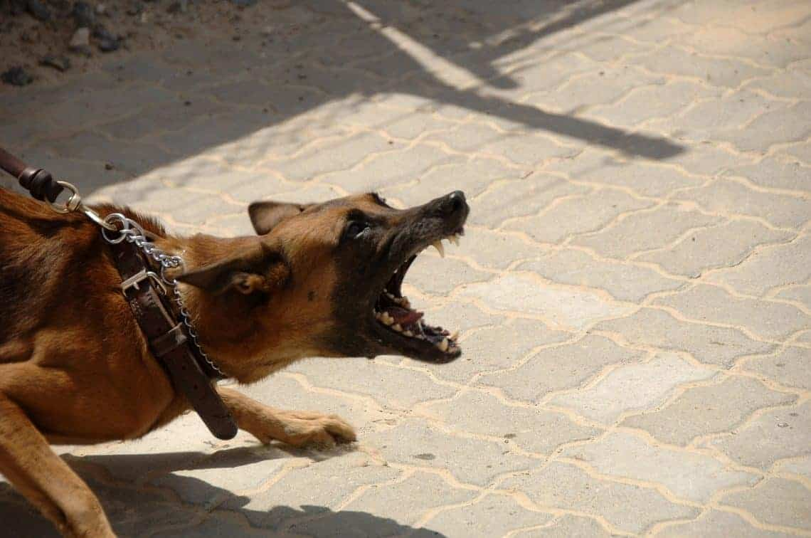 German Shepherd lunging on leash and barking