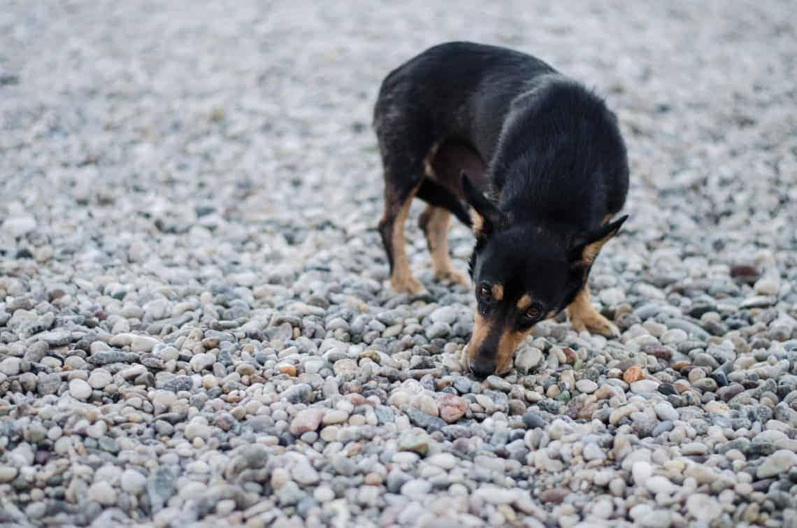 Dog eating stones
