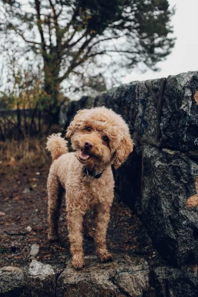 "Why ""Hypoallergenic"" Dog Breeds Are a Myth"