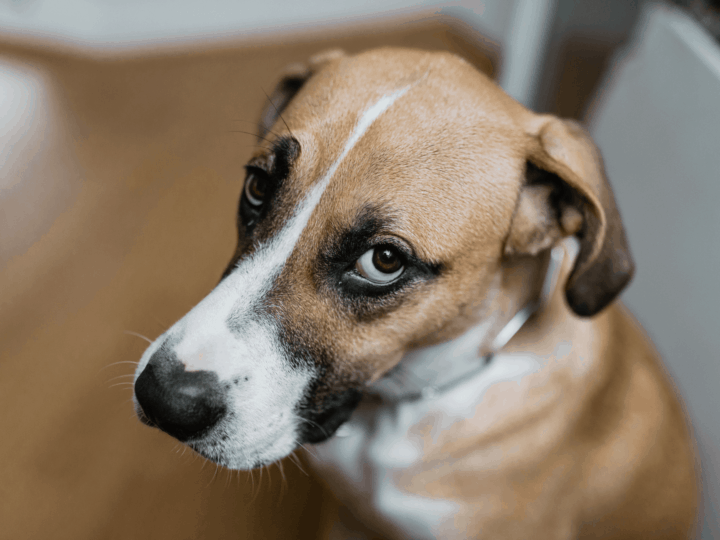 dog giving guilty look