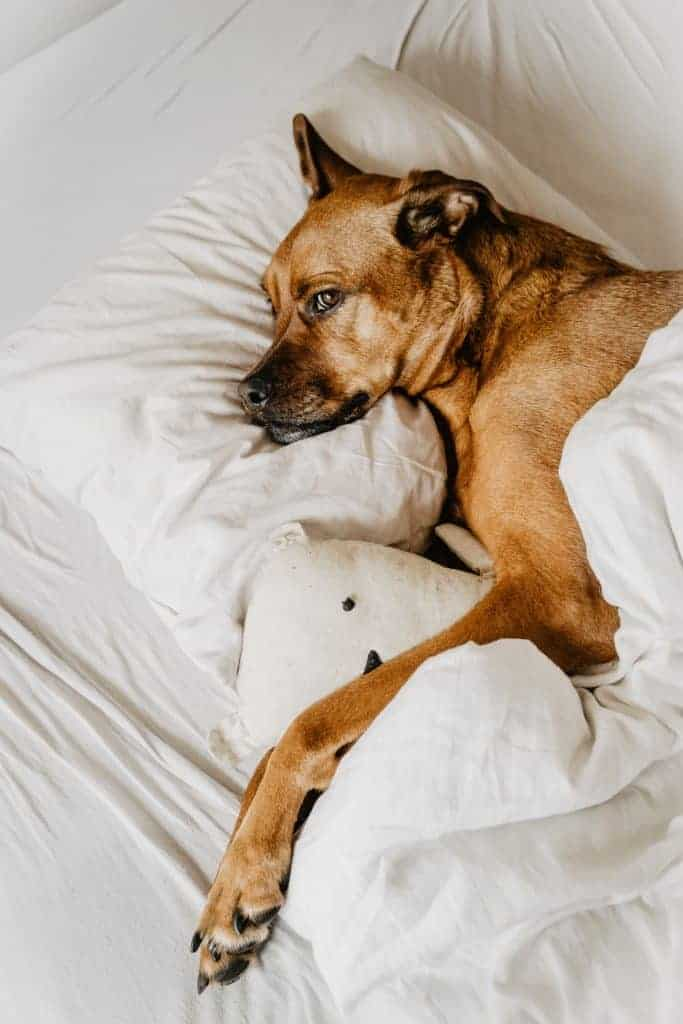 Dog sleeps on pillow with blanket pulled over him