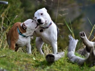 One dog affectionately nibbling on another dog