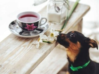 Small dog sitting on bench and begging for the cup of tea on the table