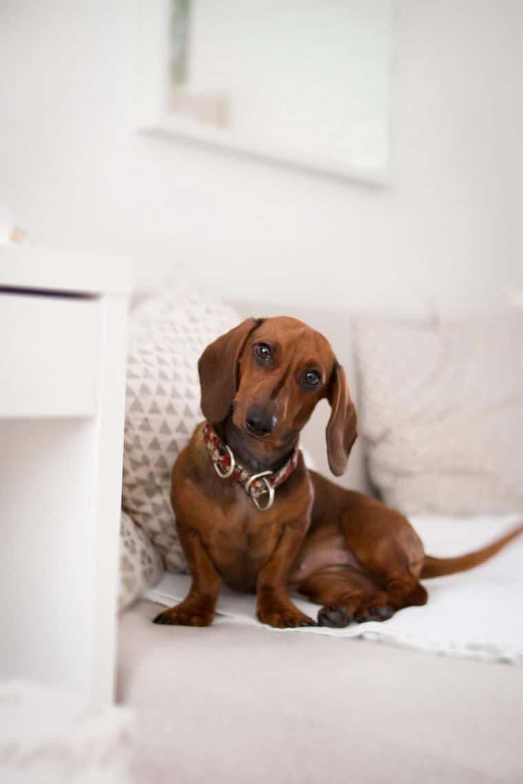 Dachshund sitting on bed