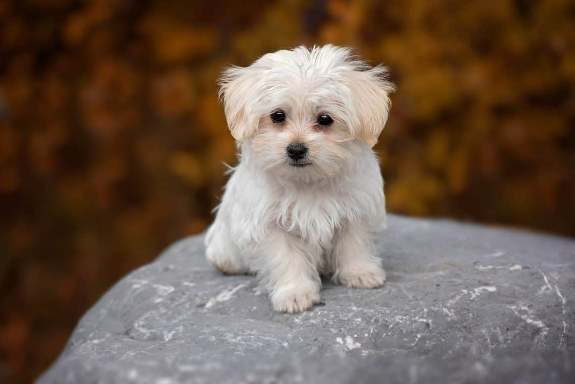 Maltese Lifespan Facts You Should Know