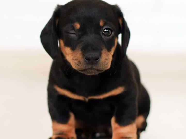 Blinking Rottweiler puppy
