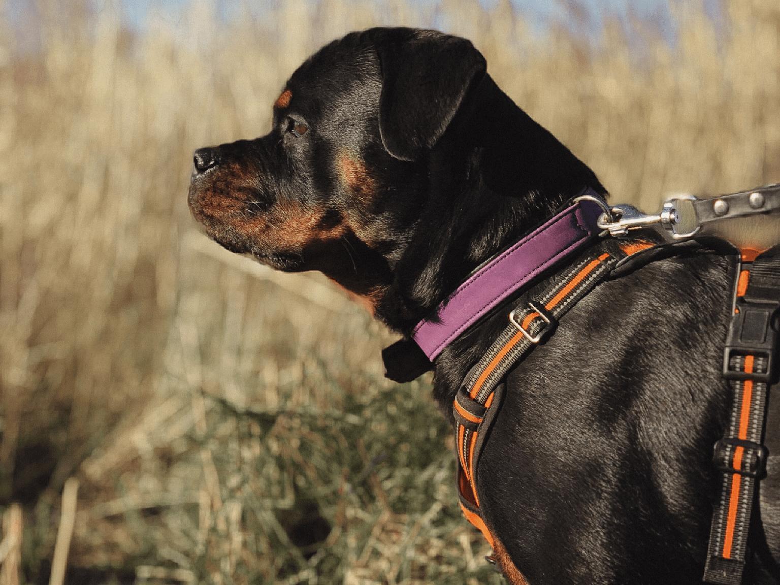Rottweiler with shiny coat.