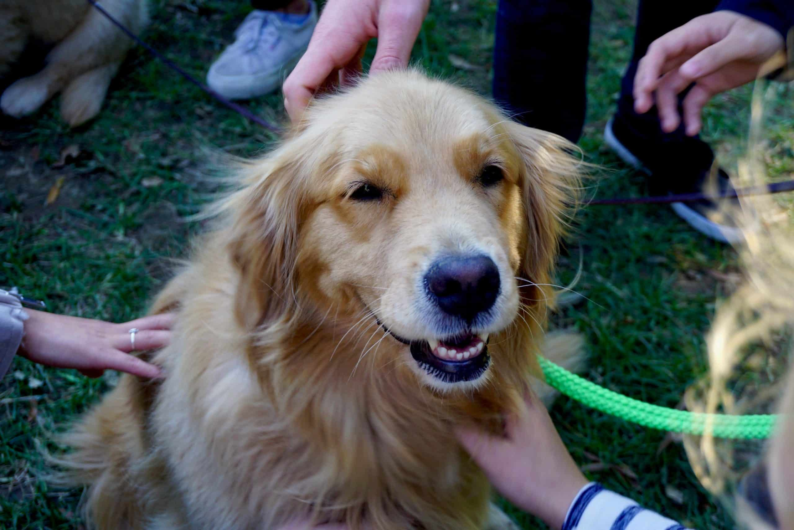 Golden Retriever getting pet by four people.