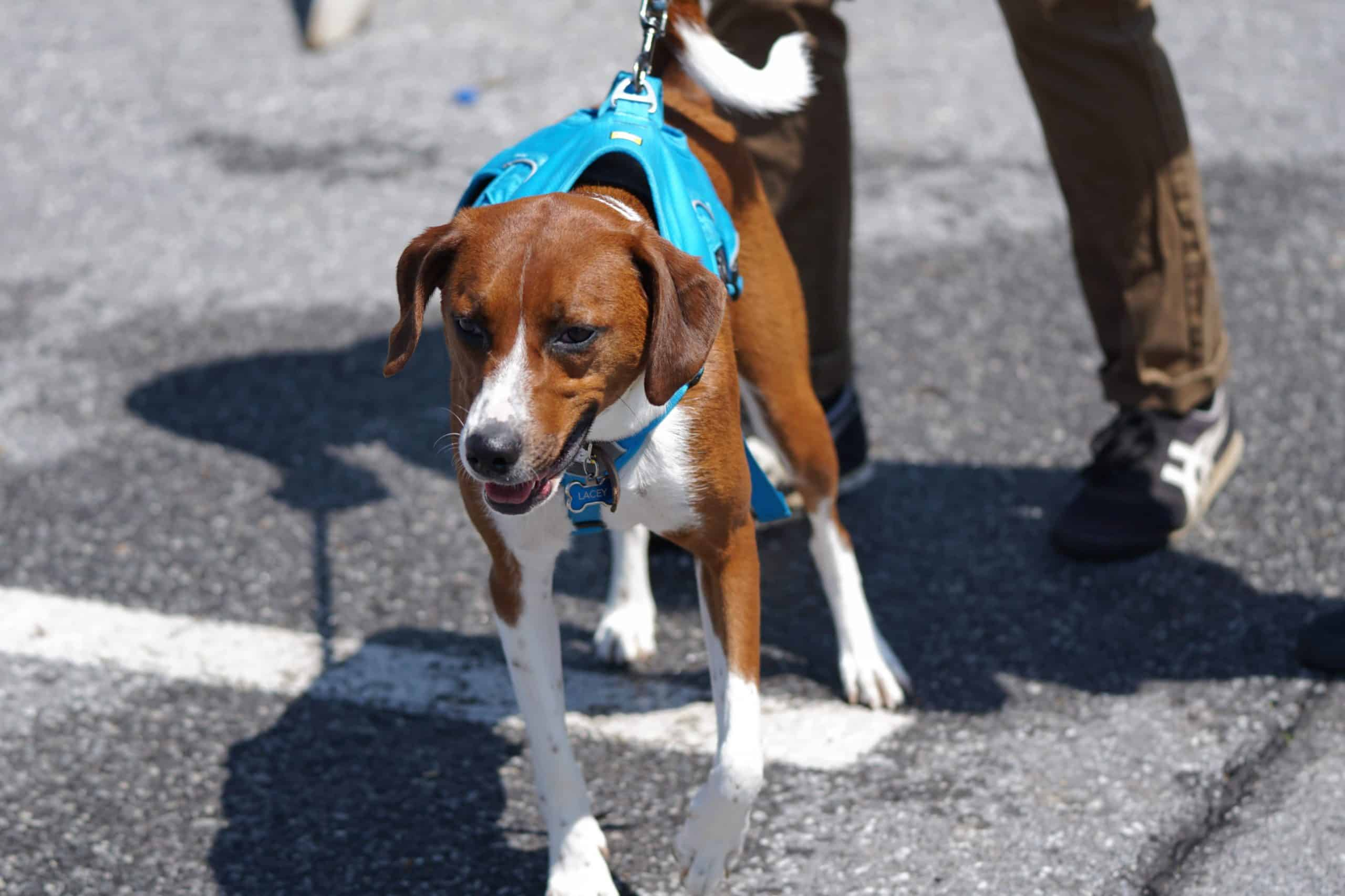 Dog with a blue back clip harness pulling on the leash.