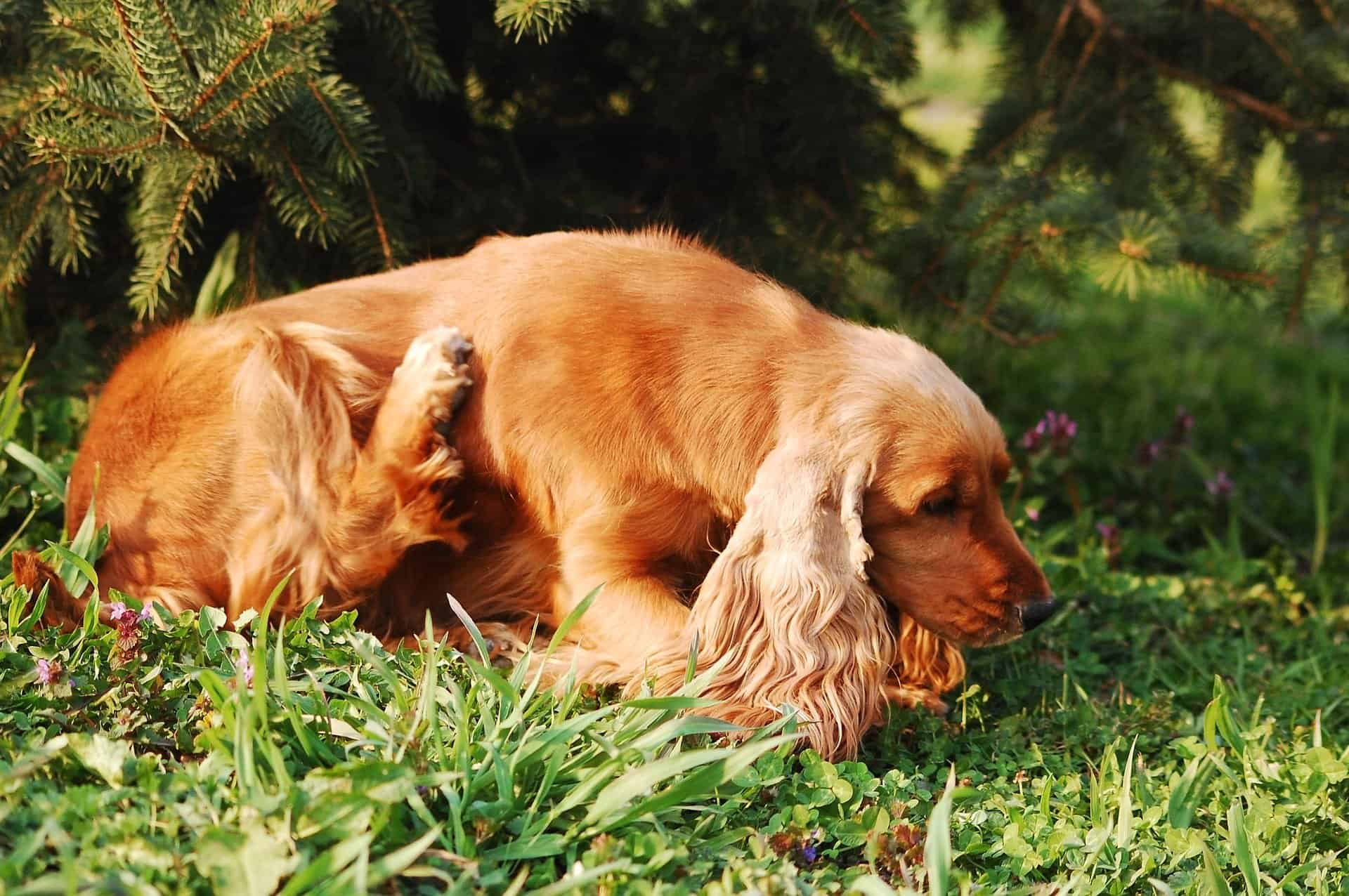 Dog scratching itself on the grass.