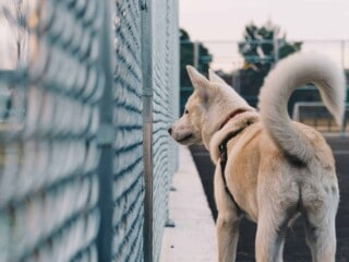 Husky looking through fence with tail raised