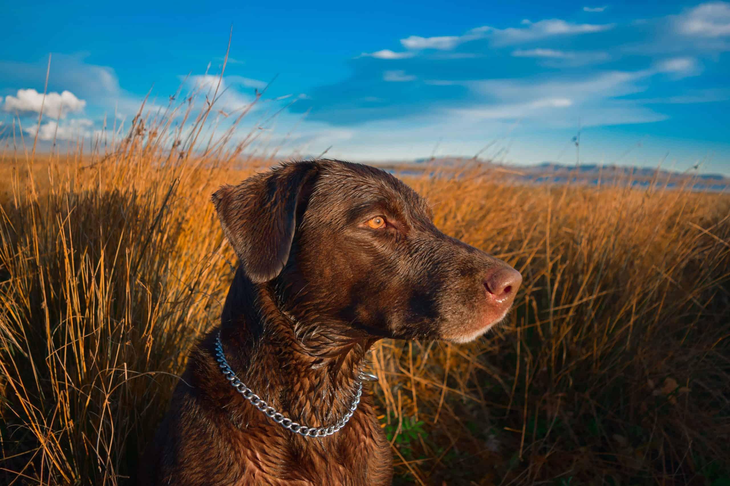 Labrador Retriever in the field.