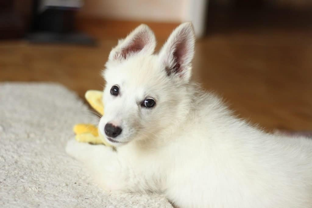 White puppy chewing on a toy.