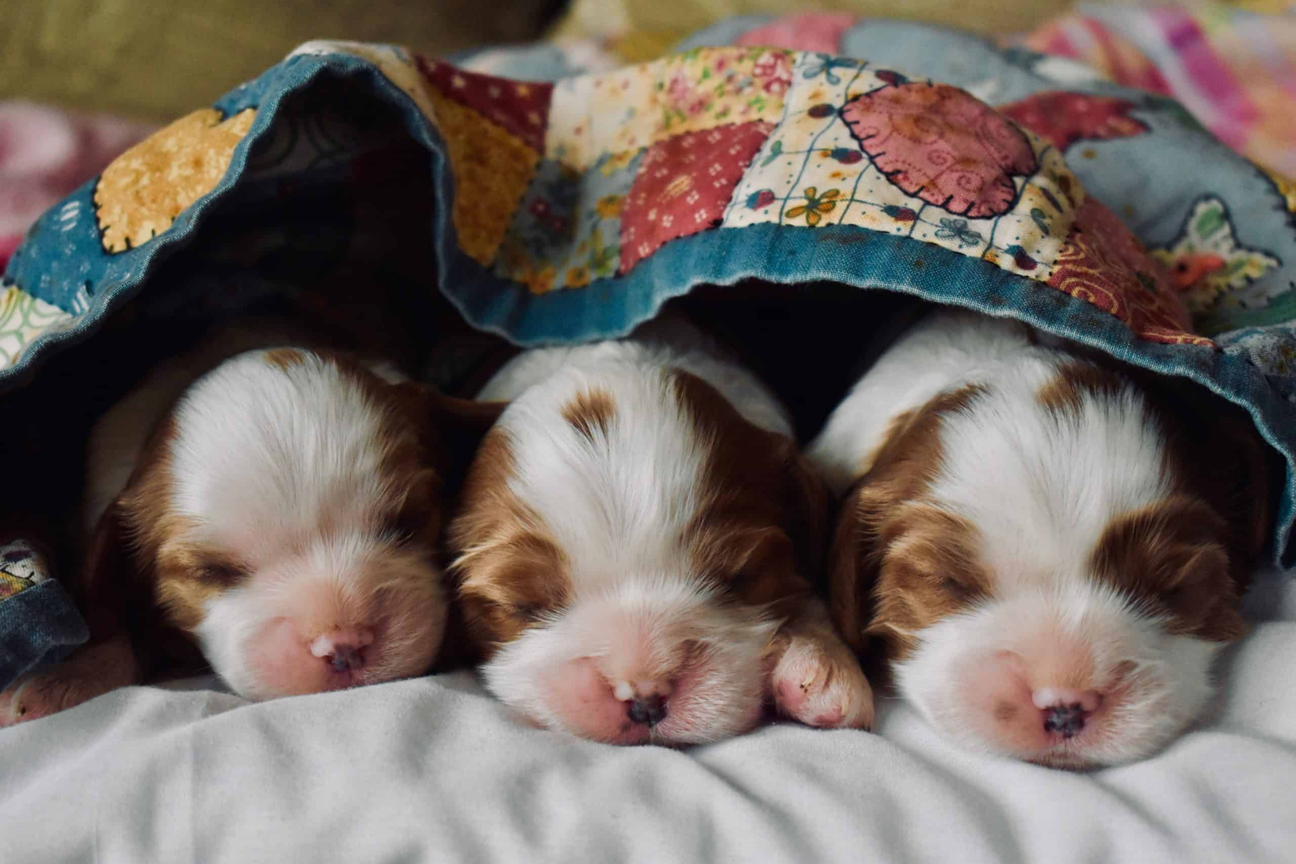 Three young puppies cuddling under a blanket.