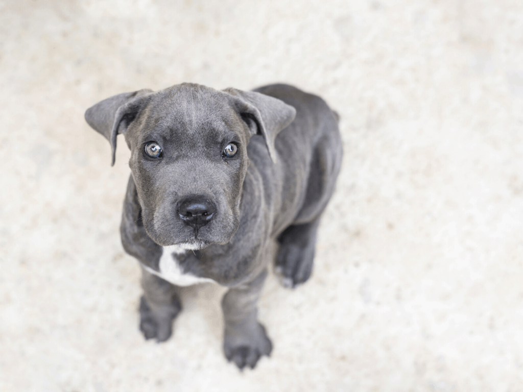 Gray Cane Corso puppy with white patch on chest
