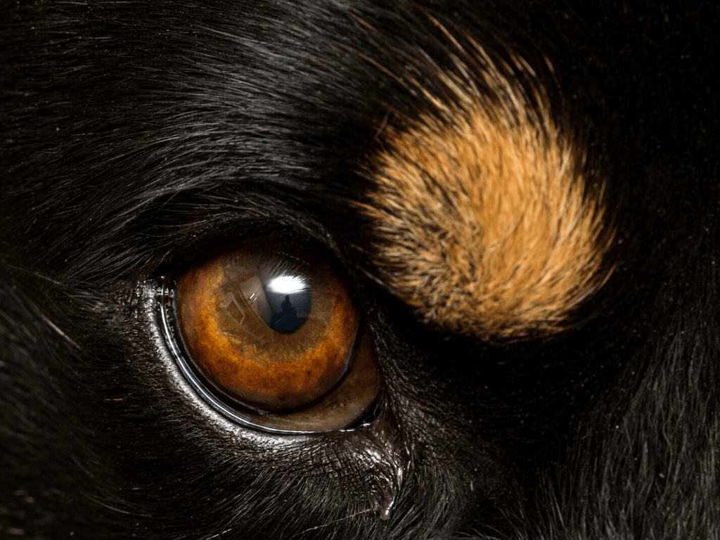 Close-up of brown dog eyebrow markings from a black dog.
