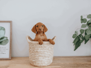 Large breed puppy looking out of basket.