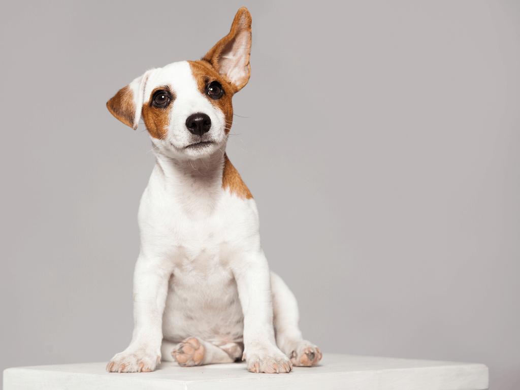 Cachorro de raza mixta en una posición de cachorro sentado. Las patas grandes indican un crecimiento acelerado.