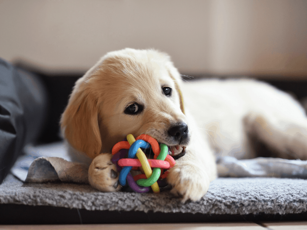 Golden Retriever puppy heavily chewing on a dog ball.