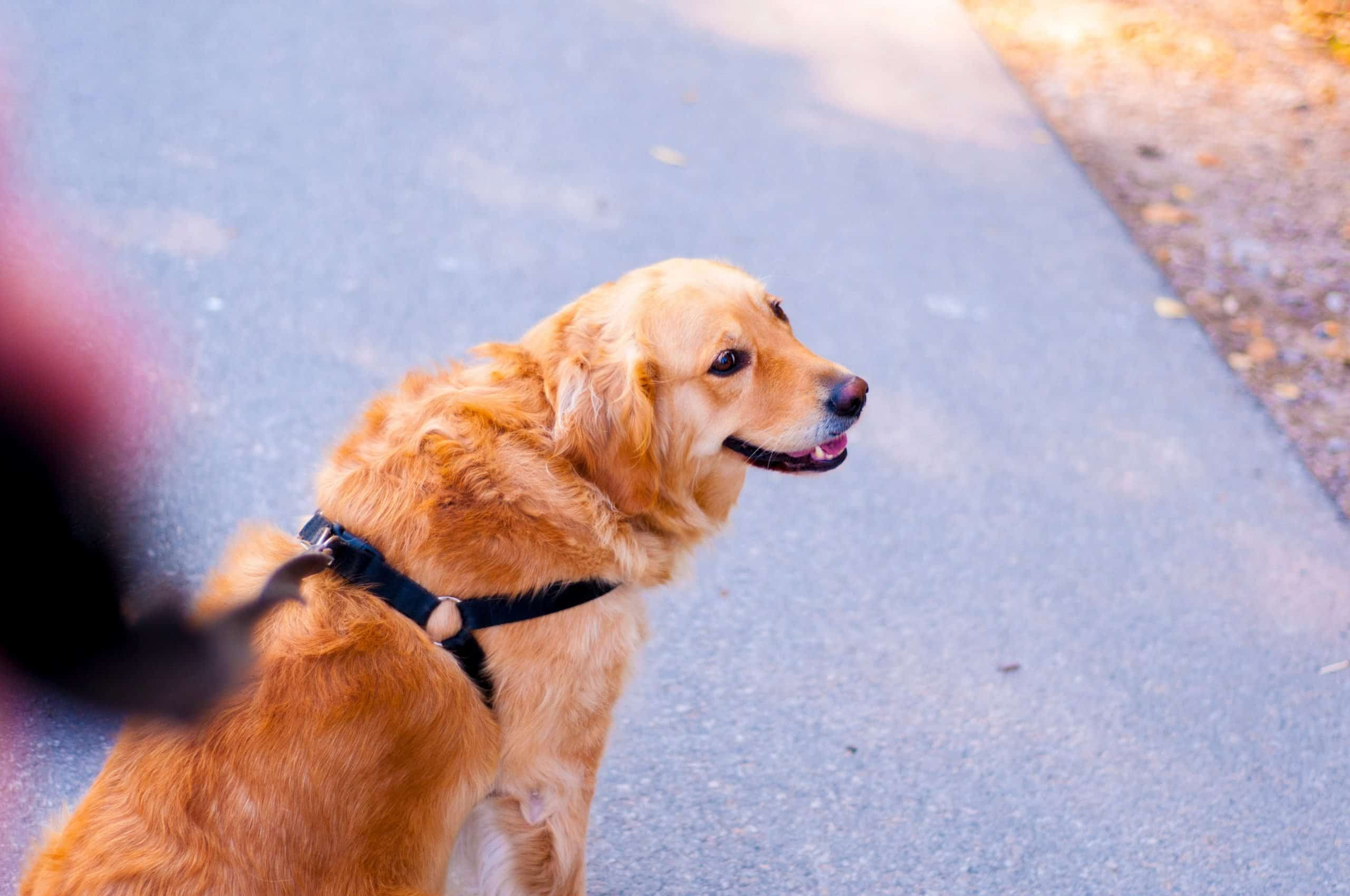 Golden Retriever is disciplined by being taught to walk nicely on a leash.