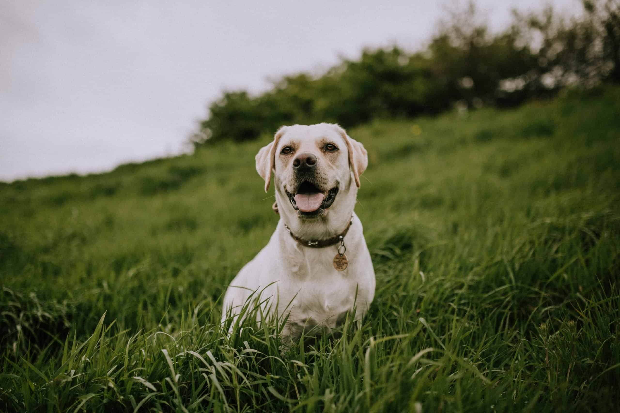 Perro tendido en la hierba verde.