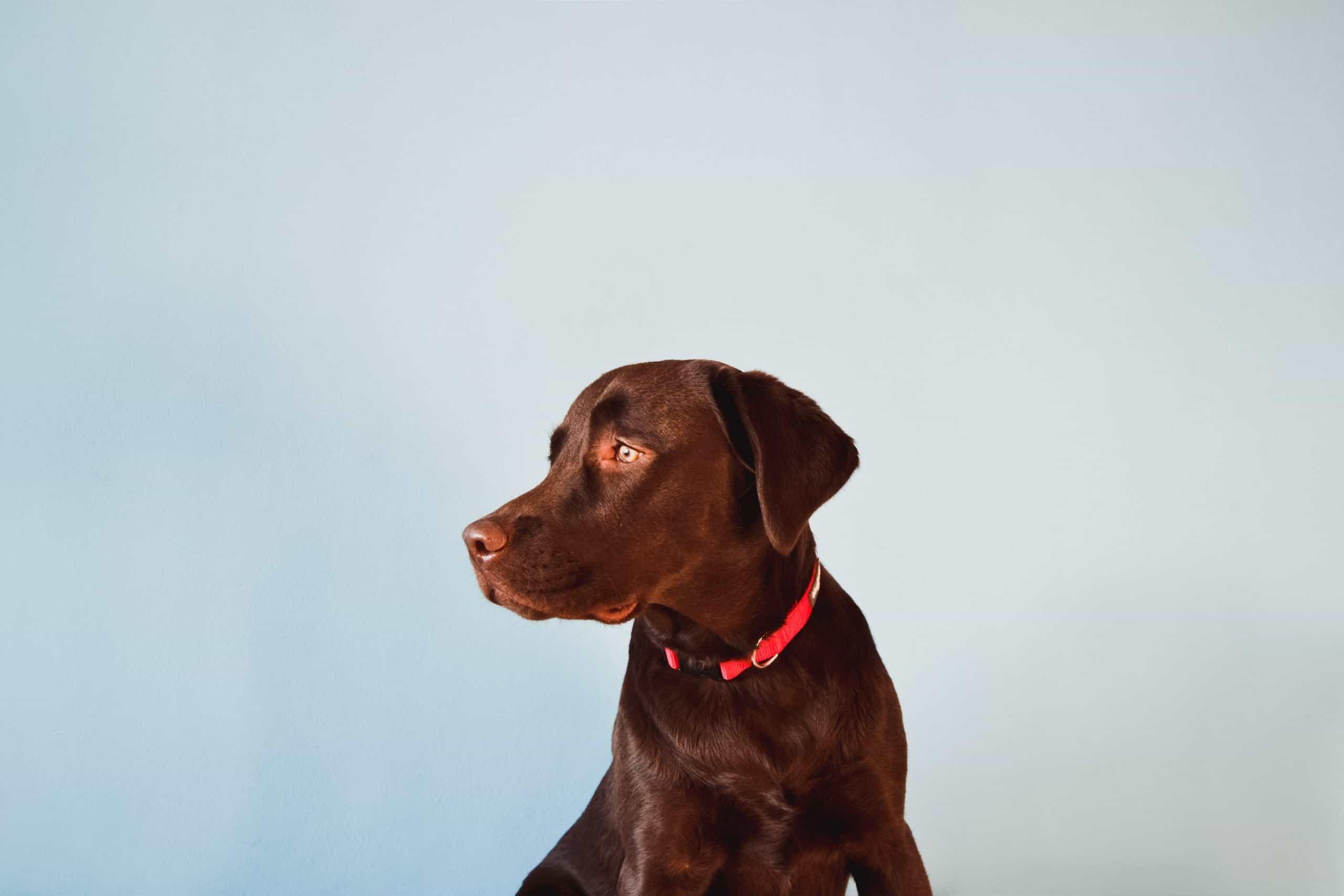 Female, chocolate Labrador Retriever.