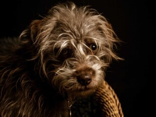 Small dog with long eyelashes and eyebrows sitting on chair in dimly lit room.