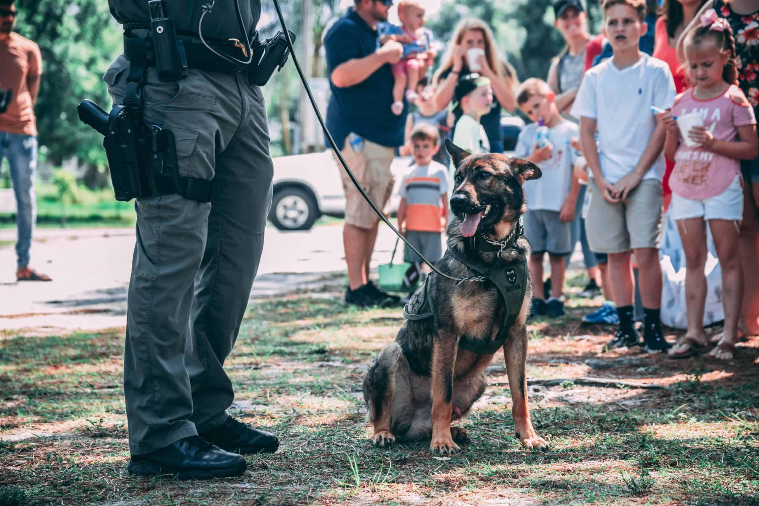 Malinois as a police working dog.